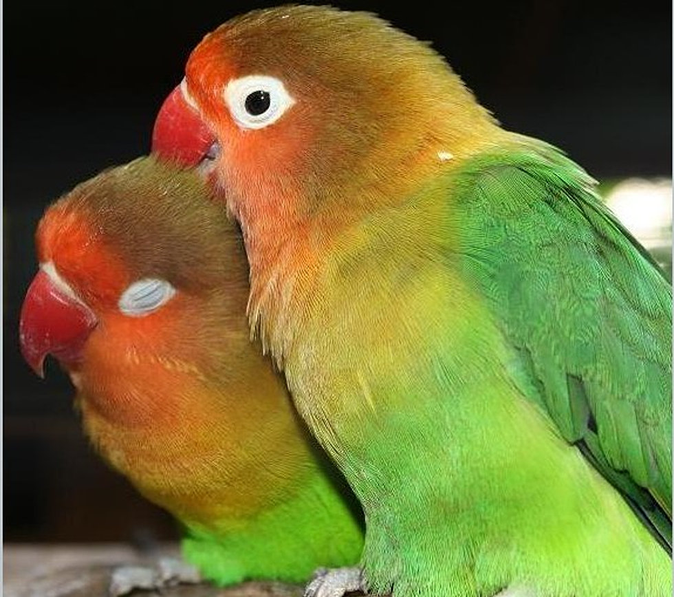 Love Bird in Love