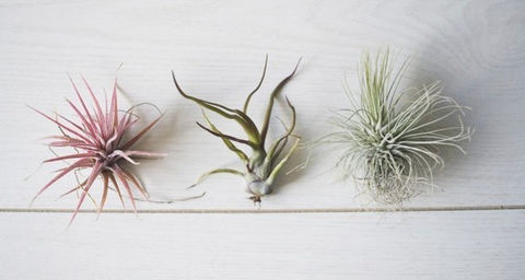 etsy air plants by tohold