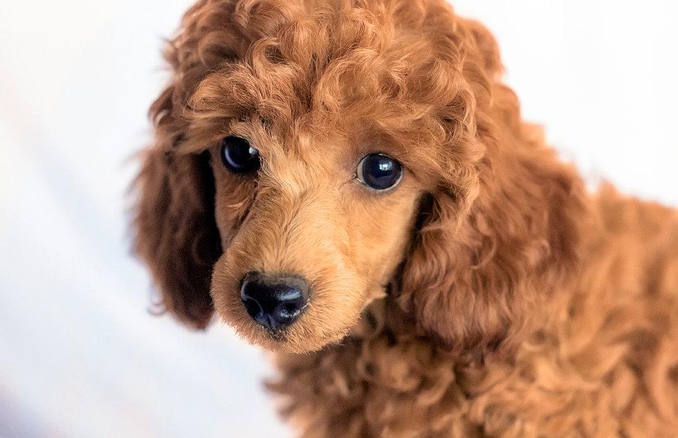 Z Poodles Miniature Poodles For ...