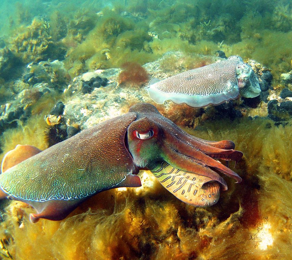 Freshwater fish in australia - Giant Australian Cuttlefish