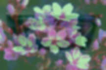 Pink Almond Tree Flowers _edited_edited.