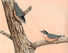 Red Breasted Nuthatches