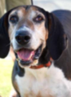 Releashed Rescue Seniors 4 Seniors Foster Dog Jethro
