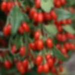 goji berry clusters
