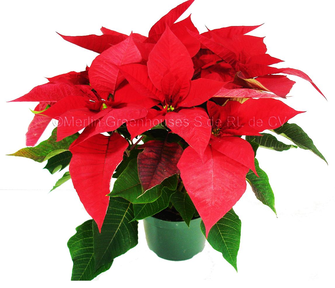 Precios De La Flor De Nochebuena 2013 En Las Nochebuenas De M  Xico