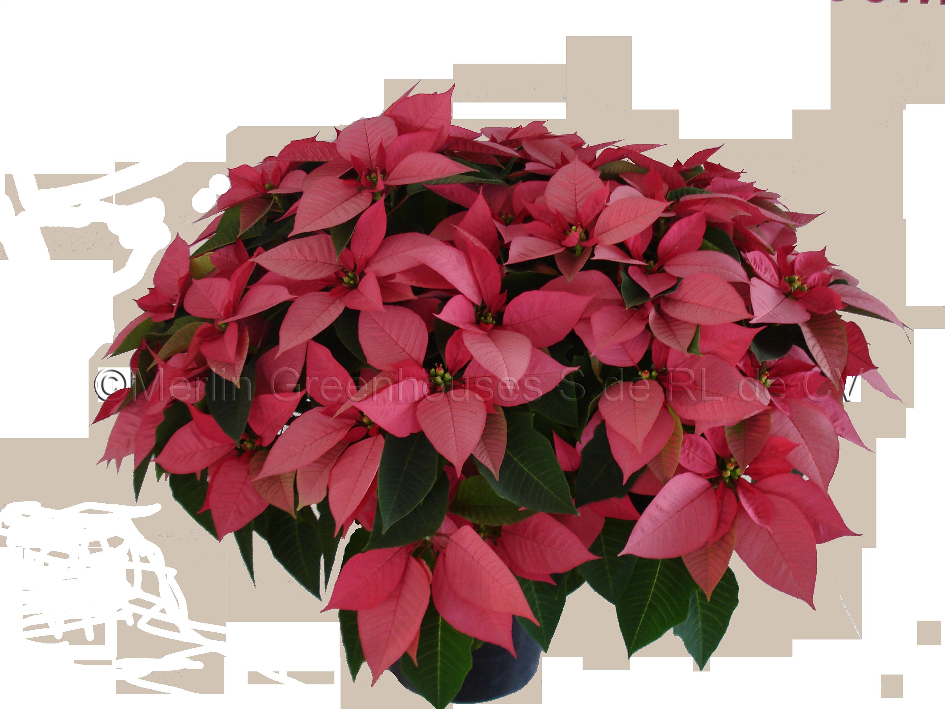 Flor De Nochebuena Nochebuenas Impresi 243 N Lipstick