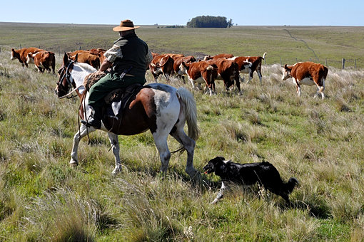 Rounding the cattle