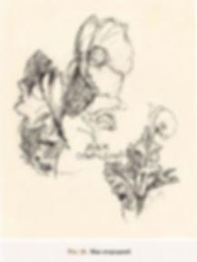 Рис.26. Мак огородный.jpg