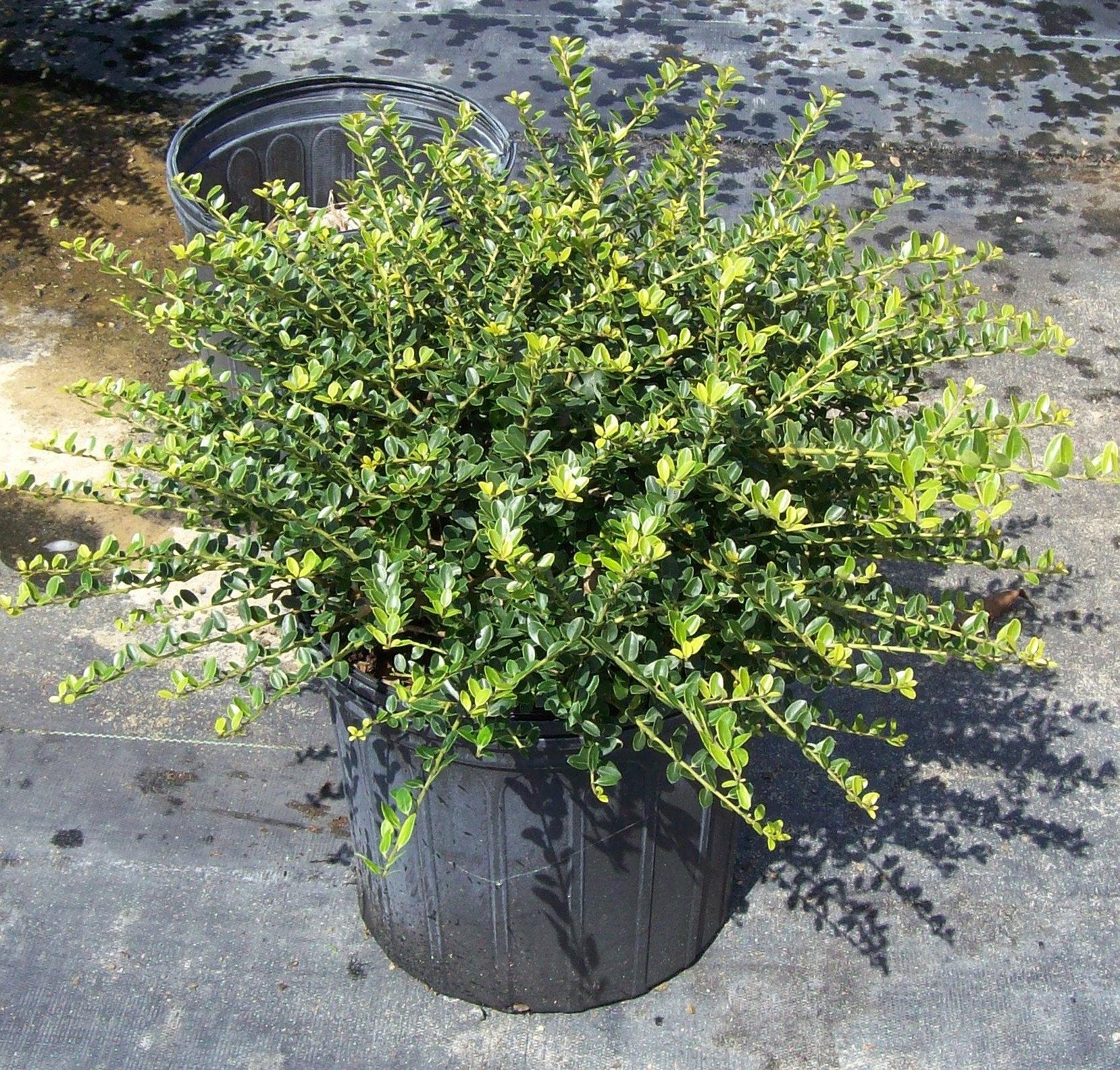 Plantnursery holly helleri for Low maintenance border shrubs