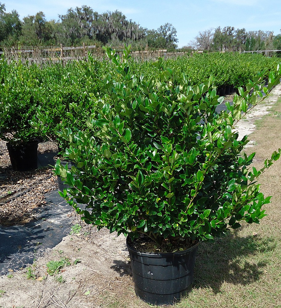 plantnursery ligustrum davidson hardy. Black Bedroom Furniture Sets. Home Design Ideas