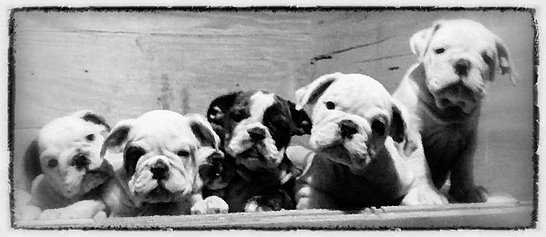 English Bulldog Puppies for Sale, English Bulldog Breeder Indiana