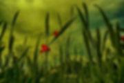 Mohn und Weizen