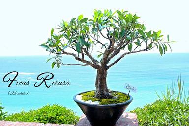 ficus retusa adopta un bonsai. Black Bedroom Furniture Sets. Home Design Ideas