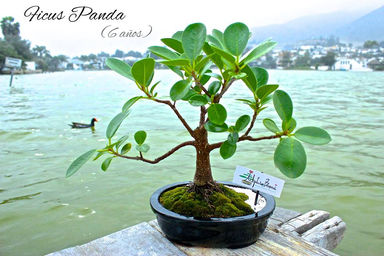 ficus panda adopta un bonsai. Black Bedroom Furniture Sets. Home Design Ideas
