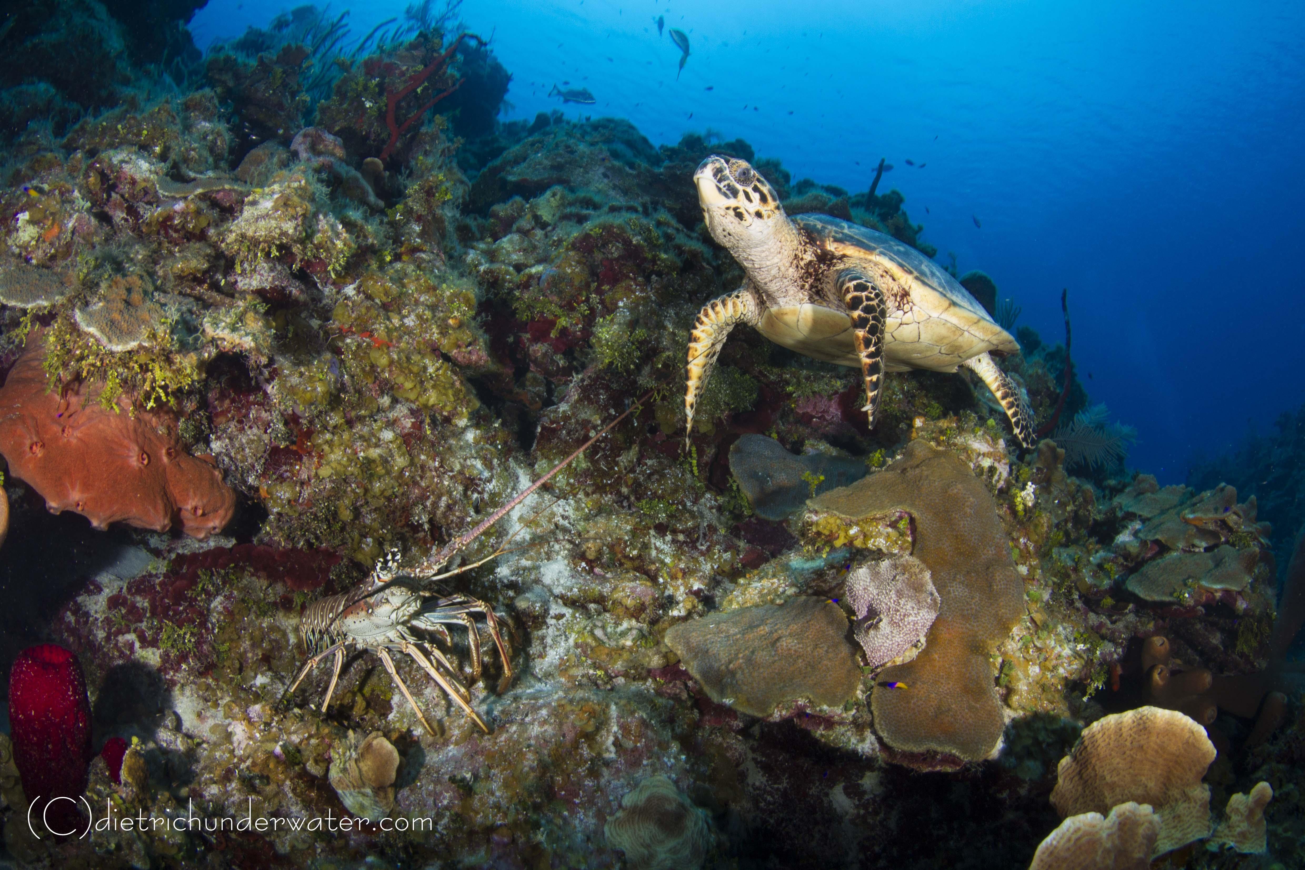 Craig Dietrich Underwater Photgraphy | Underwater Friends-Turtle & Lobster