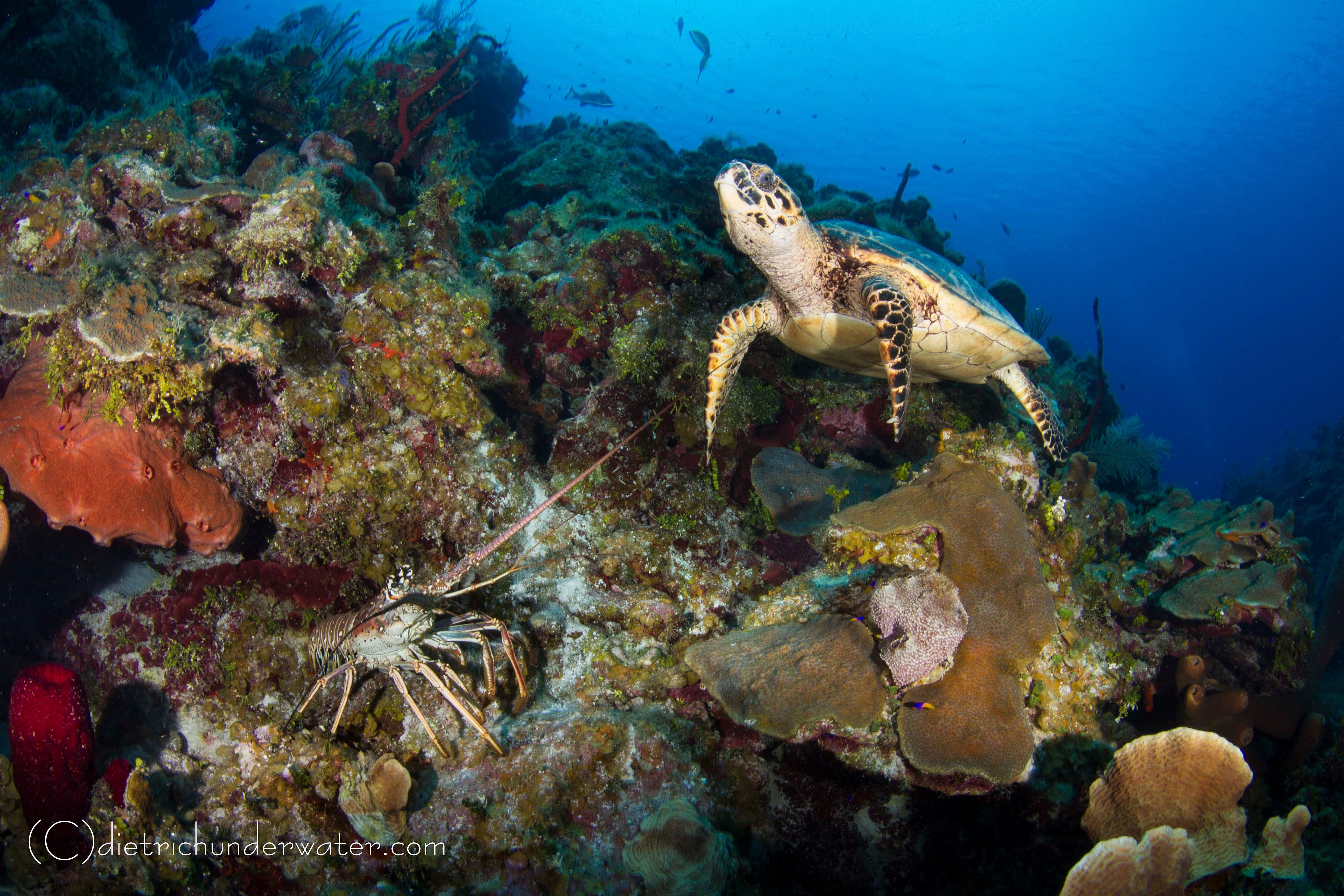 Craig Dietrich Underwater Photgraphy   Underwater Friends-Turtle & Lobster