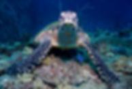 Koh Tao - Schildkröte