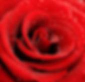 Rose-Background-Wallpaper.jpg