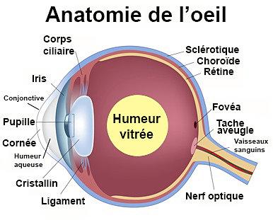 Tpe visionducheval sch ma de l 39 oeil - Symptomes fausse couche sans saignement ...