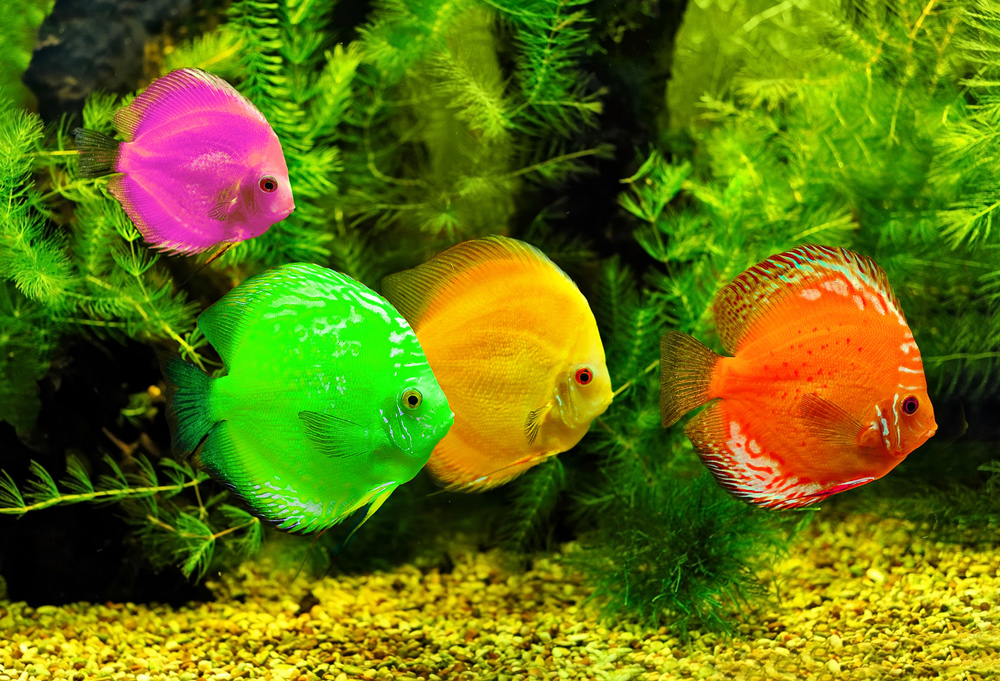 Green freshwater fish