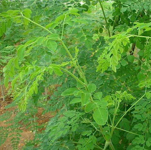 moringa plante de moringa