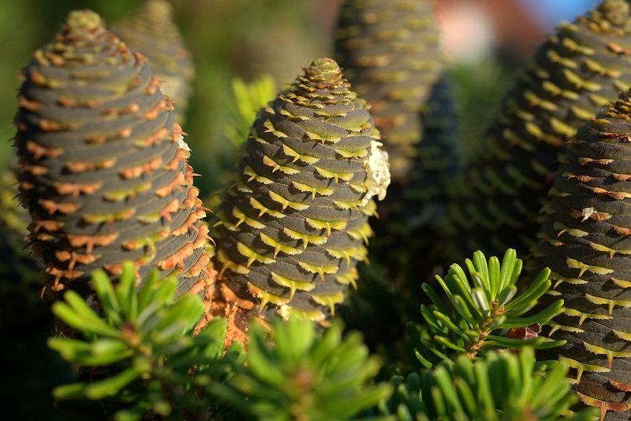 pine-cones-3613708_1920-1.jpg