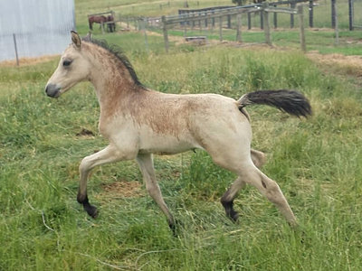 German Riding Pony, German Riding Ponies, German Riding Pony Stallions, German Riding Pony Youngstock