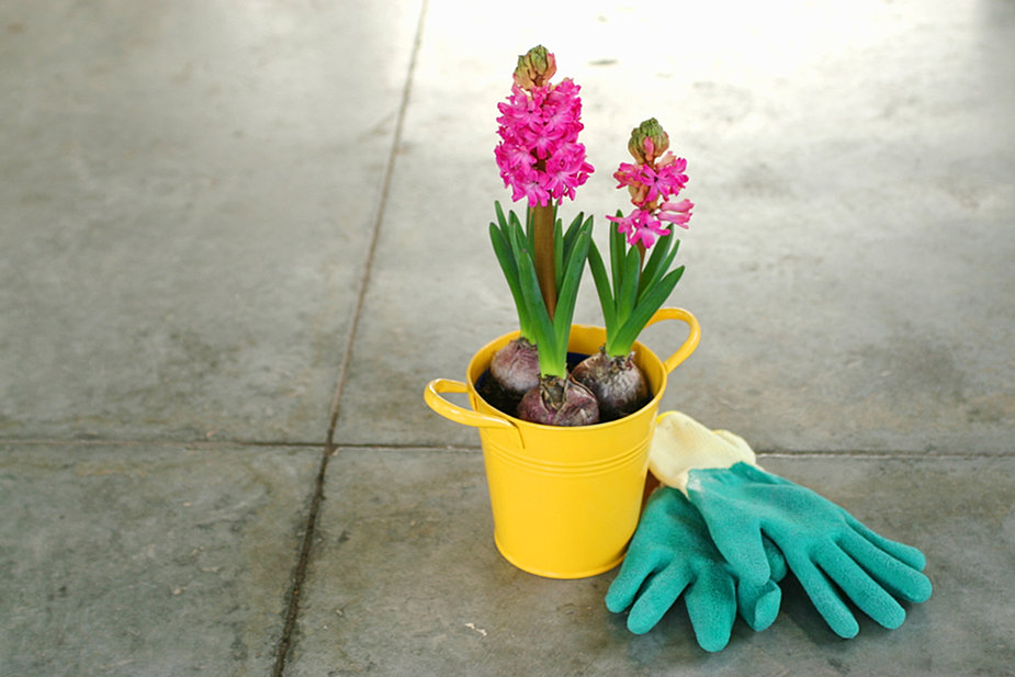 Pink Hyacinth Bulbs