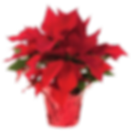 poinsettas.png