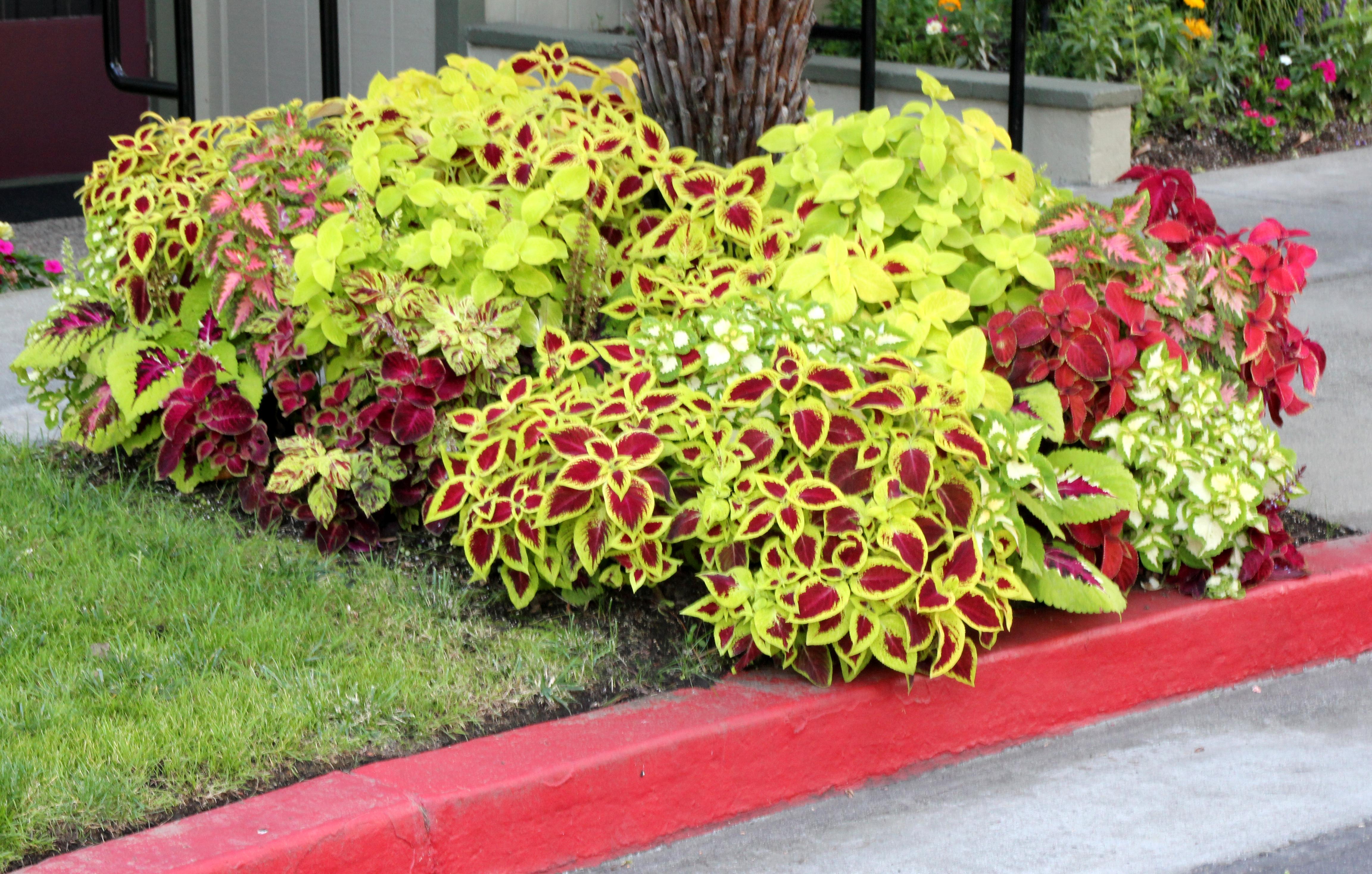 Coleus plante decorative urzicuta floare ornamentala Plante decorative
