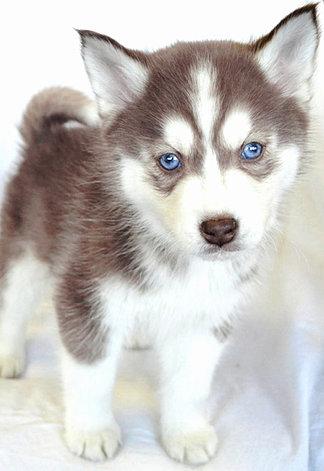 Siberian Huskies, puppies for sale in Wayne, NJ 2014-3-10-18:55:24