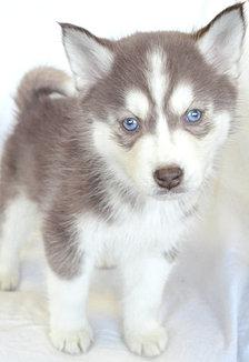 Siberian Huskies, puppies for sale in Wayne, NJ 2014-3-10-18:54:21
