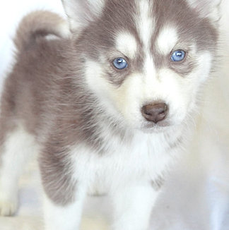 Siberian Huskies, puppies for sale in Wayne, NJ 2014-3-10-18:54:21