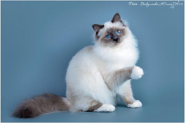 фото котенка бирманской породы