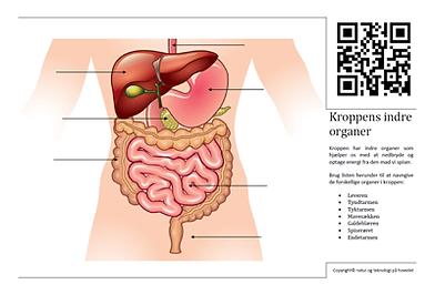 kroppens organer venstre side