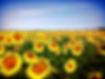 girasoli provenza