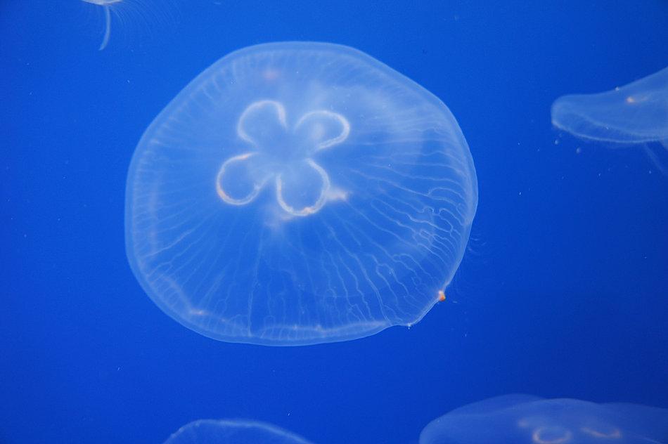クラゲの画像 p1_14