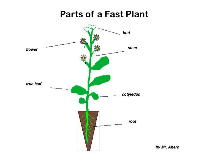 wisconsin fast plants Fast plants lab plants 1 anthocyaninless anl 2 anthocyaninless, yellowgreen anl it is essential that you fully understand the growing instructions for these small delicate plants the home page for wisconsin fast plants can be found at.