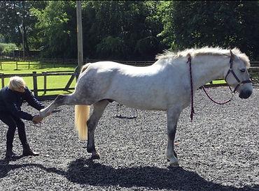 Grey_horse_stretch_leg.jpg