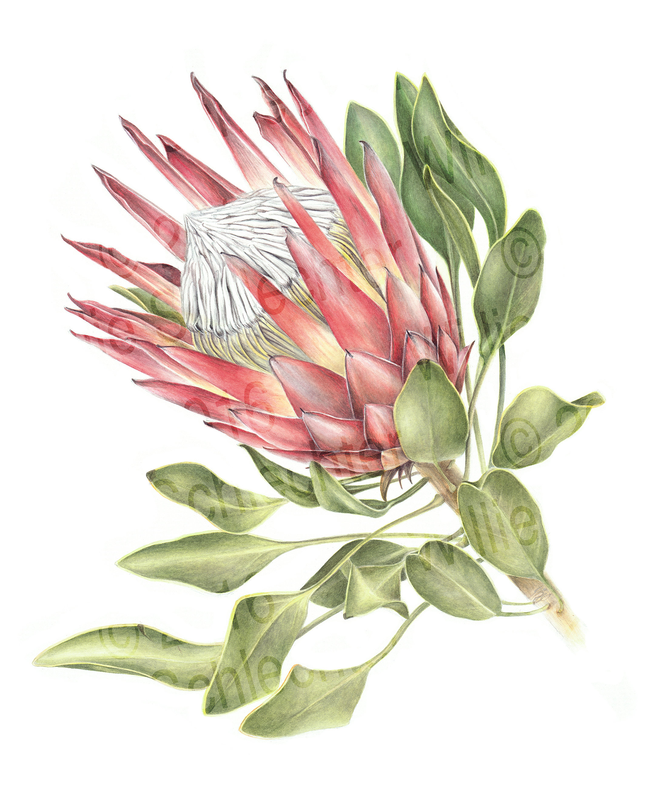 Interior Decorating Courses Cape Town Botanical Art Interior Decoration Cape Town Willie Schlechter