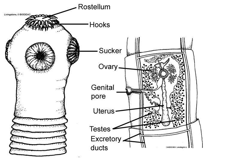 Tapeworm Wix