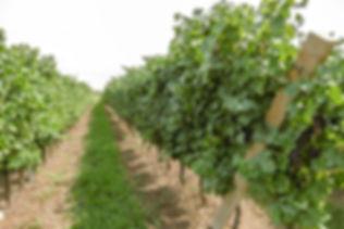 frigo wine vino cornedo vicentino vicenz