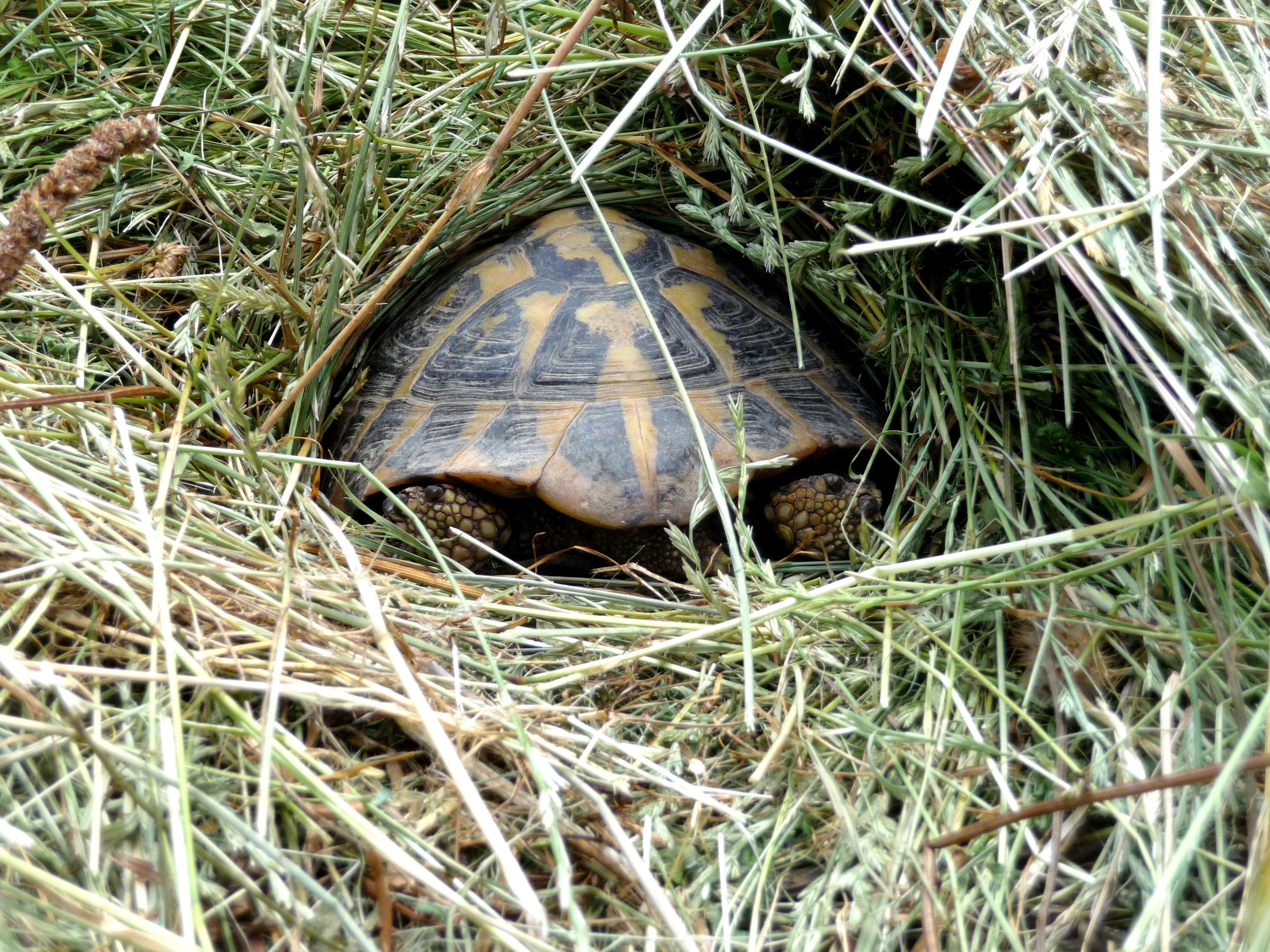 Natürliche Haltung der Griechischen Landschildkröte
