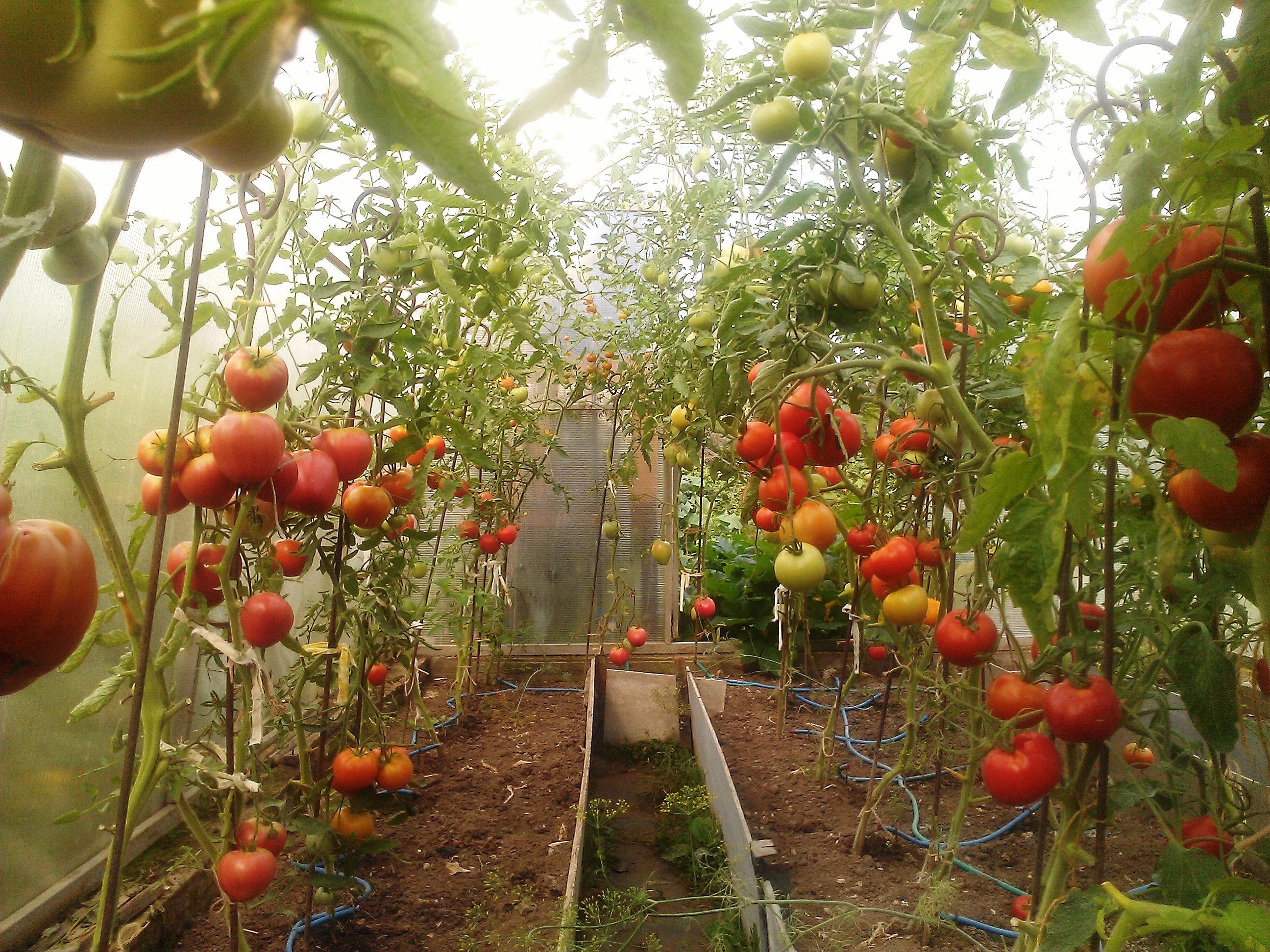 Выращивание помидор в домашней теплице 7