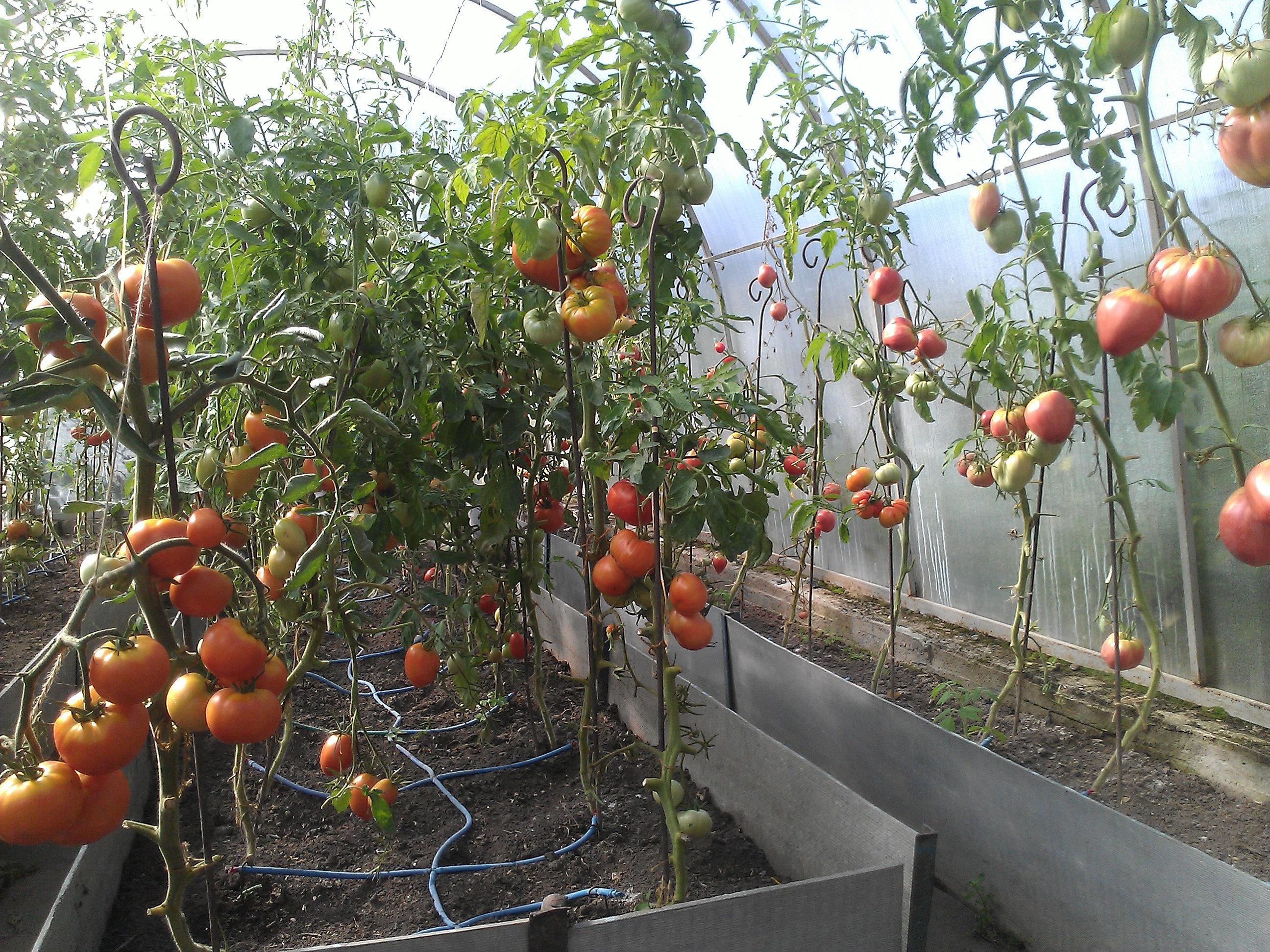 Автополив помидоров своими руками 48
