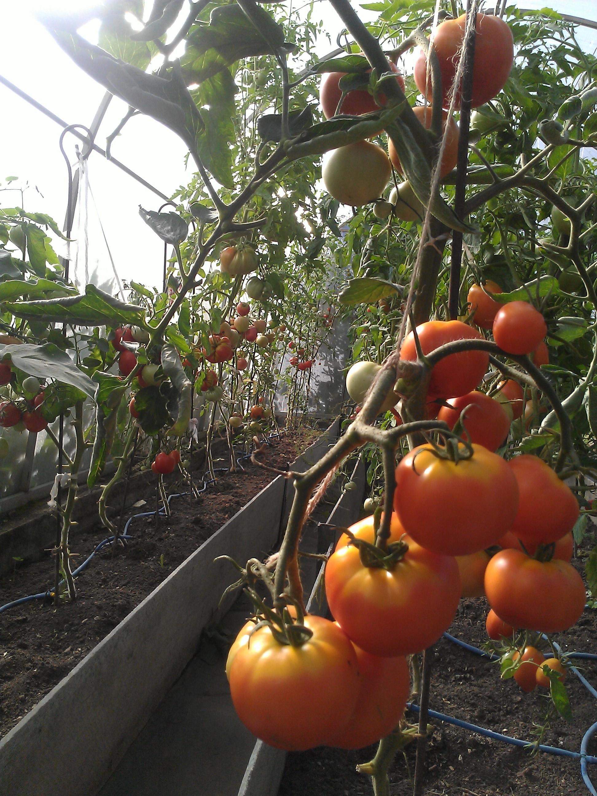 Как вырастить помидоры в теплице из поликарбоната - инструкция