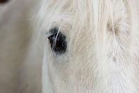 white-horse-mammal-stallion-mane-close-u