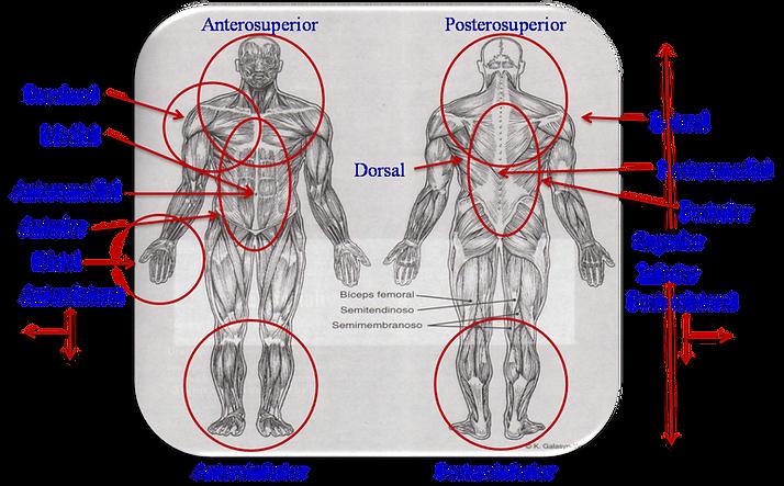 Glosario de terminologia anatomica basica   Anaomia general