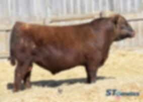 Bieber LB Mitigator C314, Bieber Red Angus, Red Angus bulls, Red Angus cattle, Wyoming Red Angus