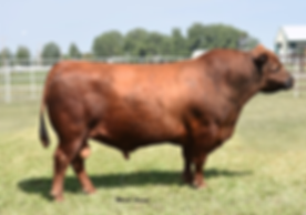 WPRA Avalanche 818, Red Angus, Wyoming Red Angus, Red Angus Cattle in Wyoming, Wyoing Red Angus